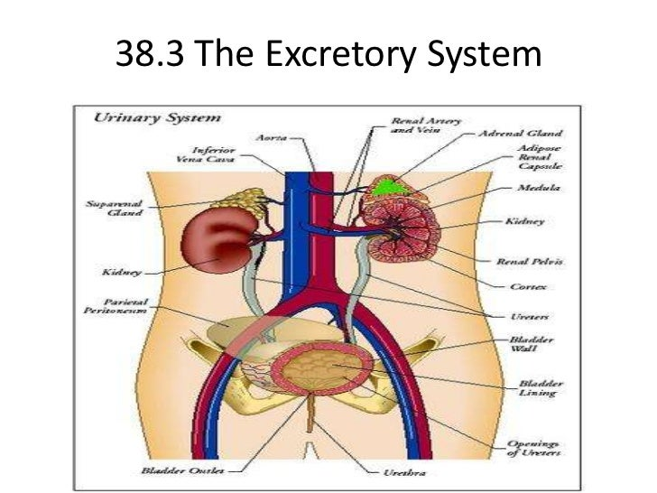 38.3 The Excretory System <br />