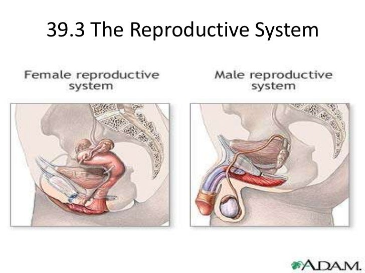 39.3 The Reproductive System<br />