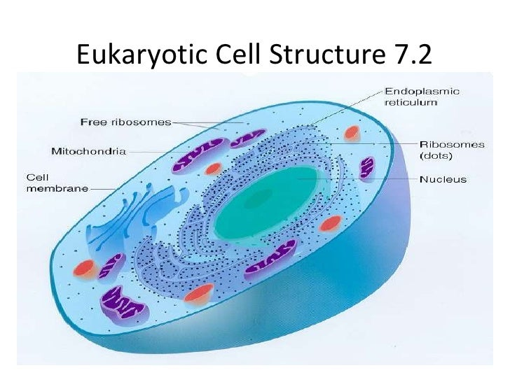 Eukaryotic Cell Structure 7.2<br />