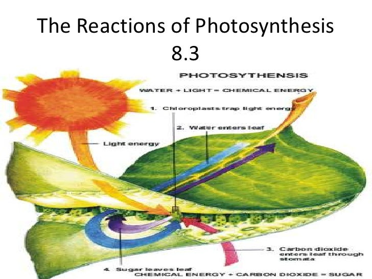 The Reactions of Photosynthesis 8.3<br />