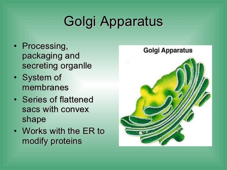 definition of golgi apparatus in biology
