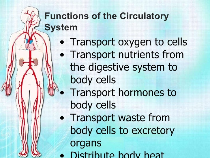 role of energy in the cardiovascular system The vascular system, also called the circulatory system, is made up of the vessels that carry blood and lymph through the body the arteries and veins carry blood throughout the body, delivering oxygen and nutrients to the body tissues and taking away tissue waste matter.