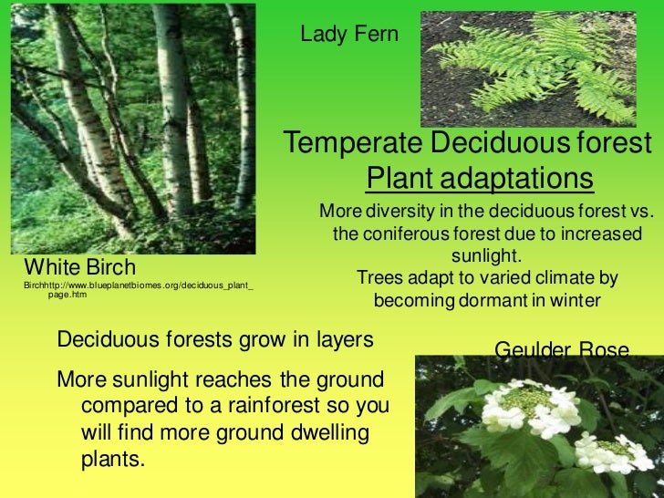 Temperate forest plants names - photo#17