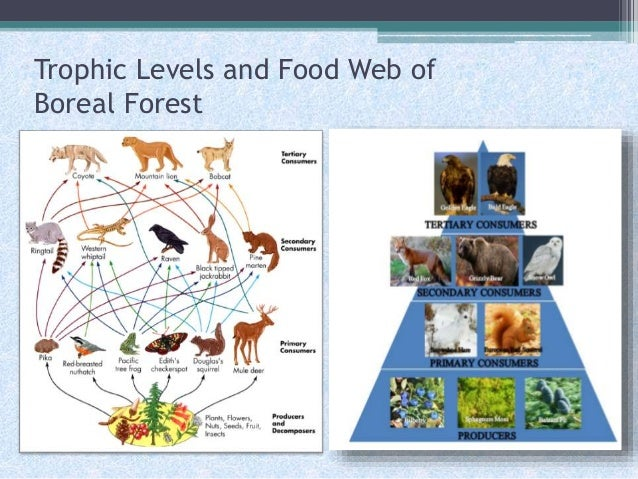 Boreal Forest Biome Food Web Food Web of Boreal Forest