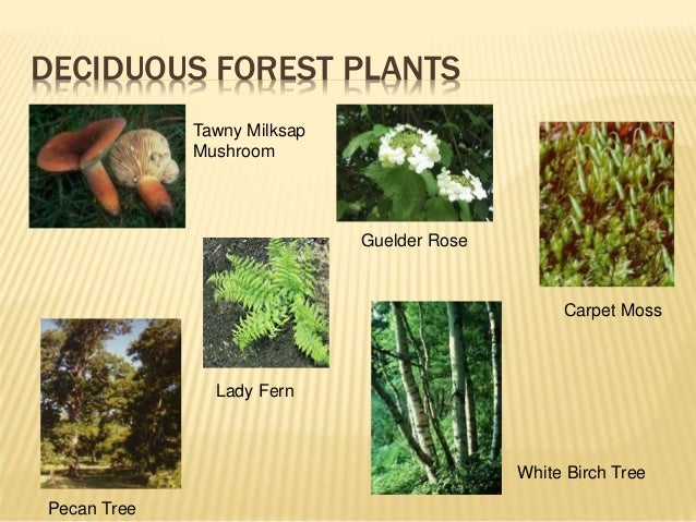 Temperate forest plants names - photo#8