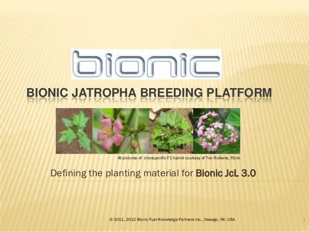 BIONIC JATROPHA BREEDING PLATFORM                     All pictures of interspecific F1 hybrid courtesy of Ton Rulkens, Fli...