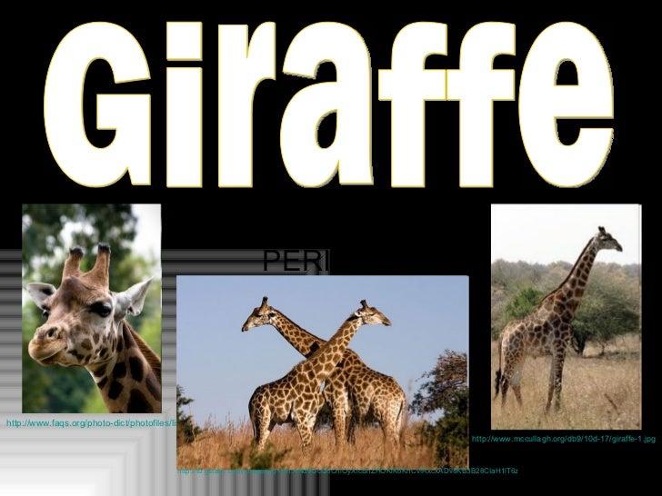 BY: DANIELLA PETRI PERIOD 1 Giraffe http://www.faqs.org/photo-dict/photofiles/list/184/2967giraffe.jpg http://t0.gstatic.c...