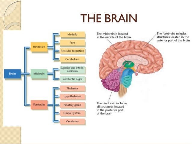 the human body brain essays