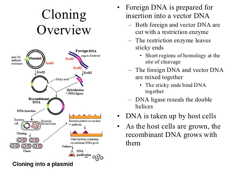 Cloning Overview <ul><li>Foreign DNA is prepared for insertion into a vector DNA </li></ul><ul><ul><li>Both foreign and ve...