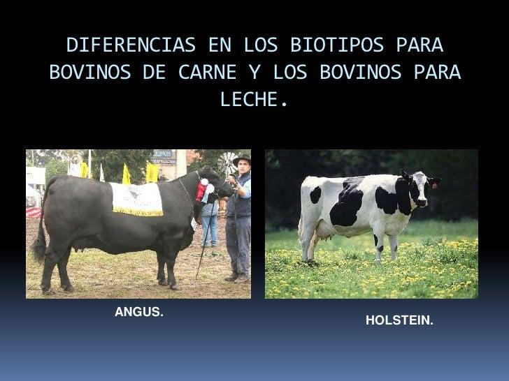 DIFERENCIAS EN LOS BIOTIPOS PARA BOVINOS DE CARNE Y LOS BOVINOS PARA LECHE.<br />ANGUS.<br />HOLSTEIN.<br />