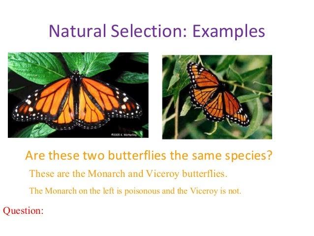 Natural Selection Examples Moths