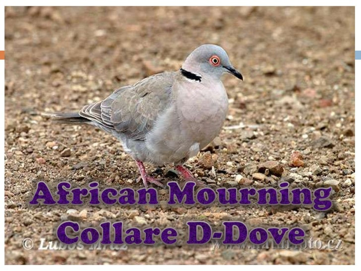 African Mourning Collare D-Dove<br />