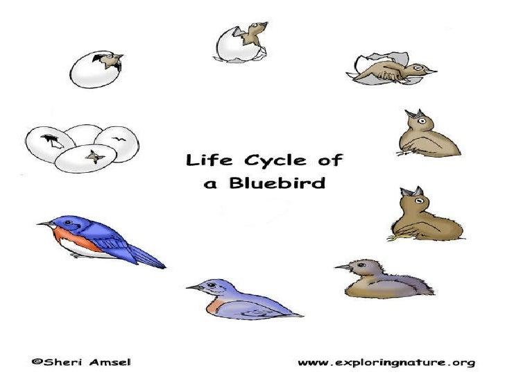Bird Life Cycle Life Cycle of Birds 12