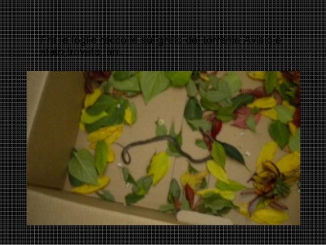 Fra le foglie raccolte sul greto del torrente Avisio è stato trovato un….