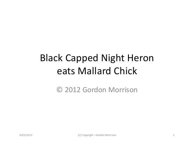 BlackCappedNightHeron eatsMallardChick ©2012GordonMorrison 9/22/2013 (c)Copyright‐ GordonMorrison 1