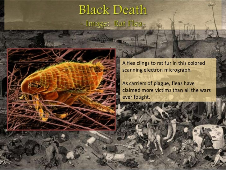 "the black death of europe killer of millions The bubonic plague or ""black death"" killed almost 33 percent of the entire population of europe when it  it one of the 10 worst natural disasters of all time."
