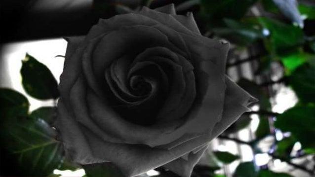 Black Rose Of Halfeti,Turkey - 48.5KB