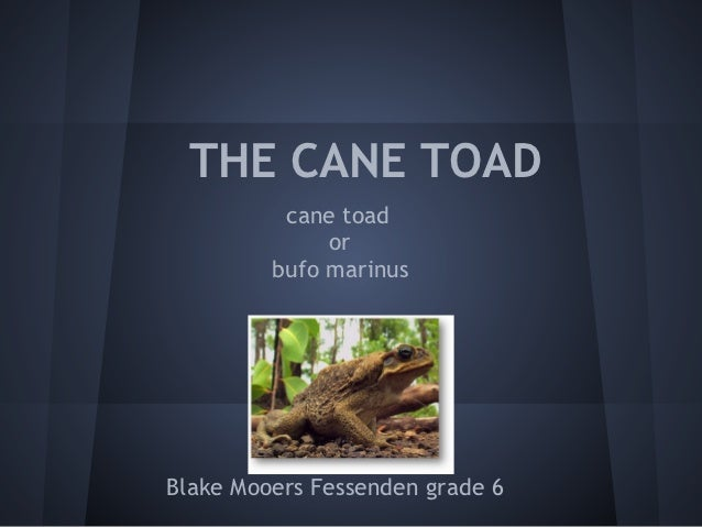 THE CANE TOAD          cane toad              or         bufo marinusBlake Mooers Fessenden grade 6