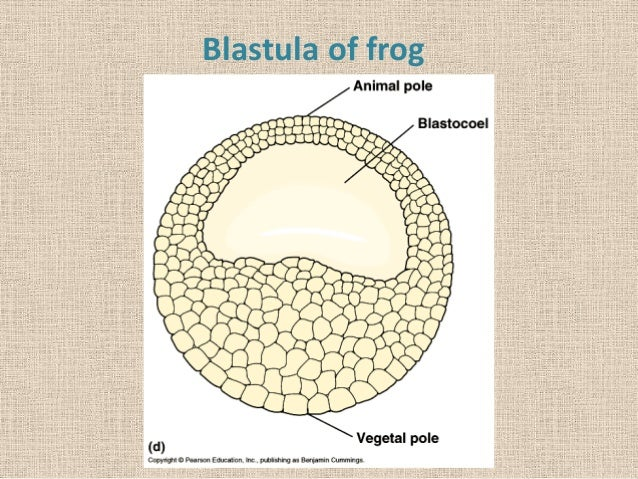 Pics For > Blastula
