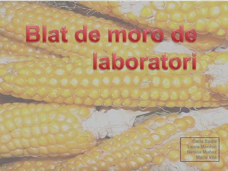 Blat de moro_de_laboratori