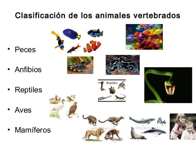 Clasificación de los animales vertebrados• Peces• Anfibios• Reptiles• Aves• Mamíferos
