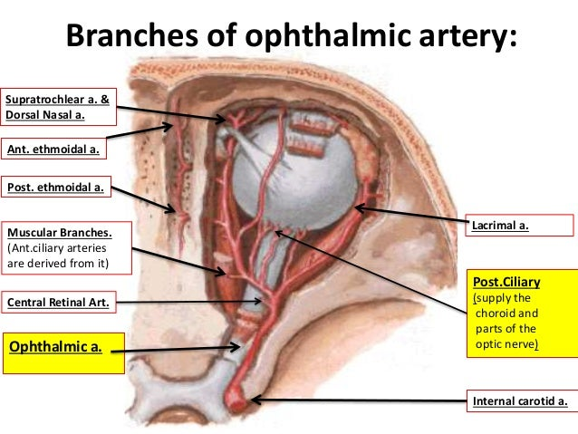 Ophthalmic artery netter