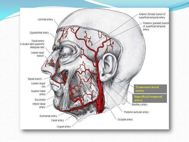 artery Dorsal nasal ar...