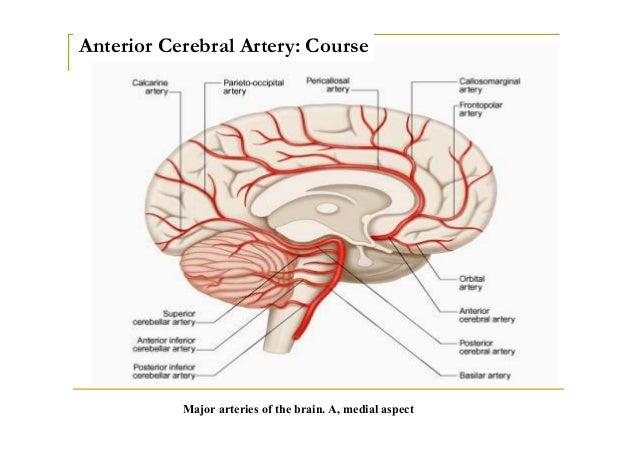 Arterial anatomy leg