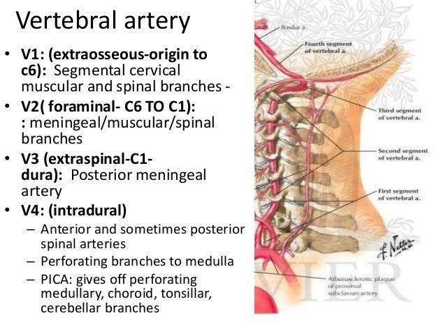 vertebral artery segments, Human body