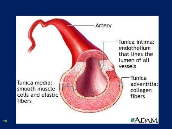 Blood vessels.2.