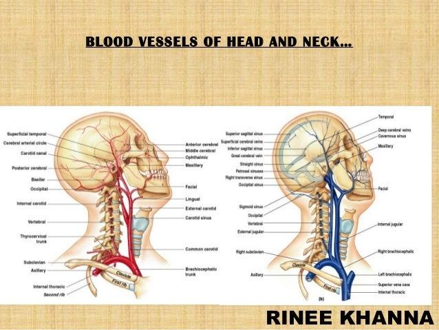 BLOOD VESSELS OF HEAD AND NECK…  RINEE KHANNA