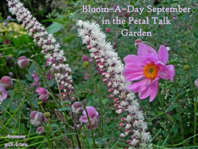 Bloom–A–Day September                  in the Petal Talk                       Garden Anemonewith Actaea
