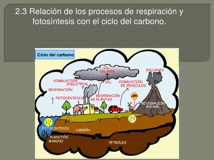 2.3 Relación de los procesos de respiración y fotosíntesis con el ciclo del carbono.<br />
