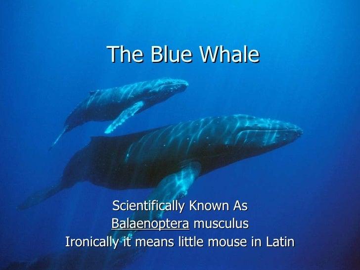 Blue whale[2]