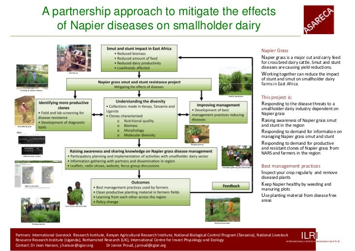 A partnership approach to mitigate the effects of Napier diseases on smallholder dairy
