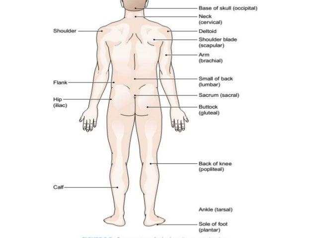 Human anatomy flank