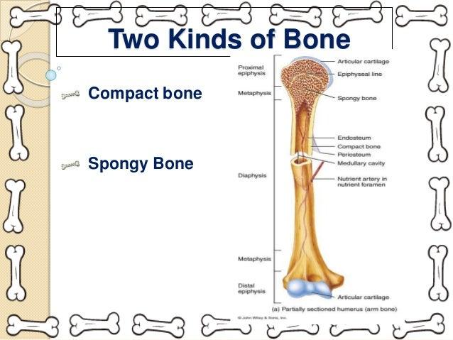 Spongy Bone Tissue Labeled