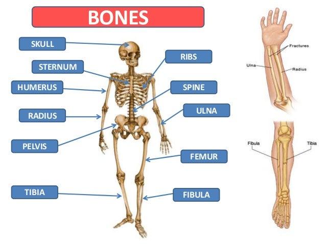 bones muscles