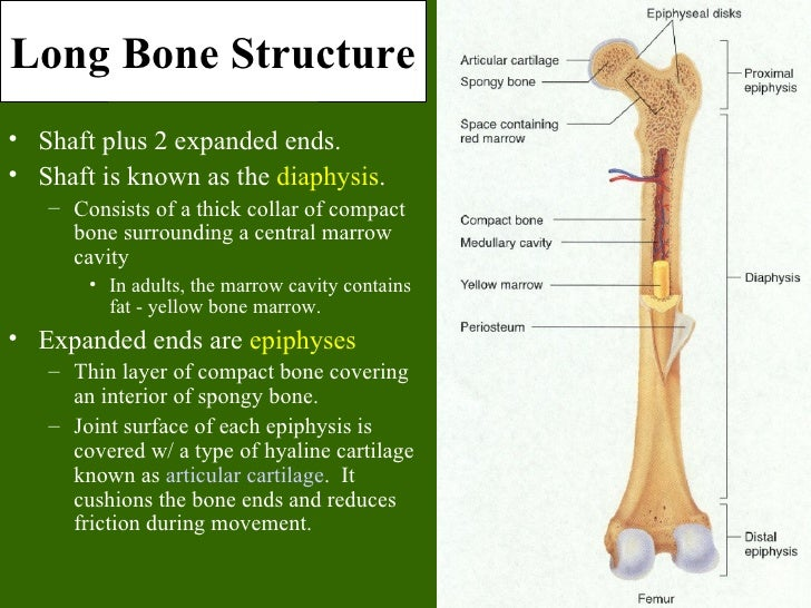 Anatomy of the femur