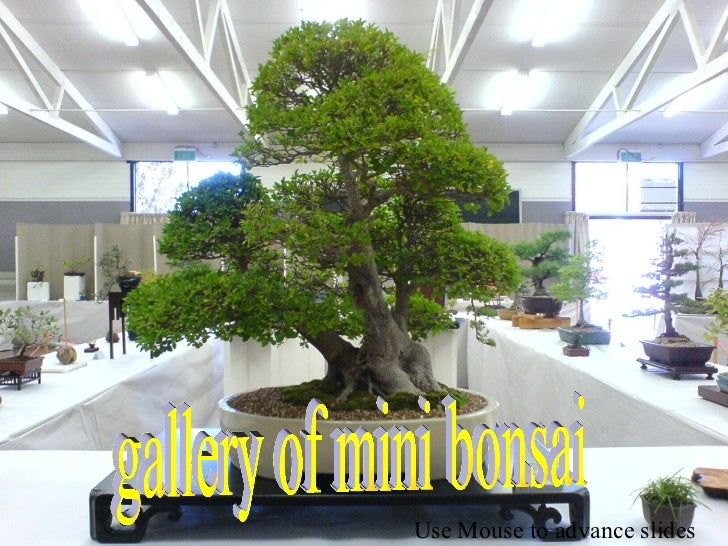 gallery of mini bonsai Use Mouse to advance slides