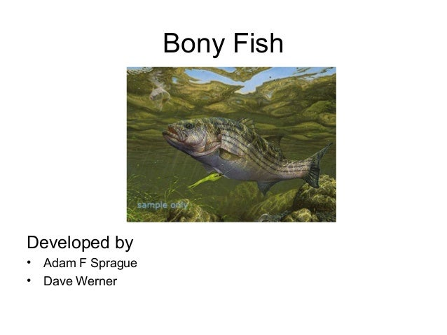 Characteristics of Osteichthyes Fish Osteichthyes Fish Examples