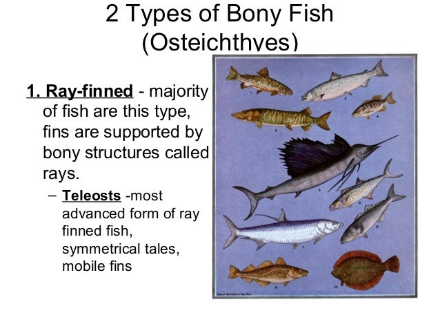 Image gallery osteichthyes fish is other for Bony fish characteristics