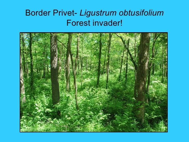 Border Privet- Ligustrum obtusifolium           Forest invader!