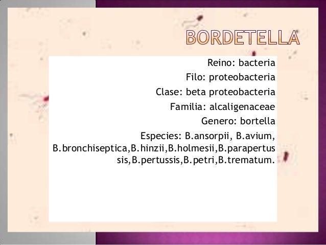Reino: bacteria Filo: proteobacteria Clase: beta proteobacteria Familia: alcaligenaceae Genero: bortella Especies: B.ansor...