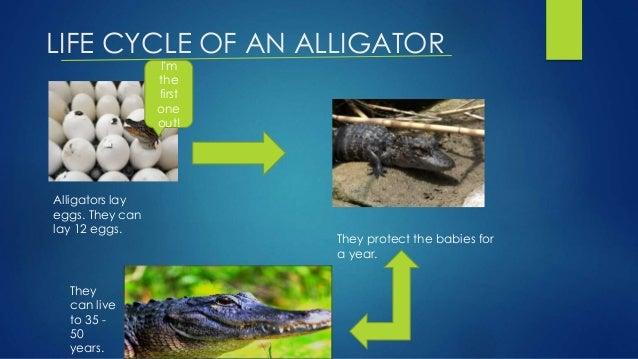 GeoChemBio.com/biology/organisms/alligator - life cycle