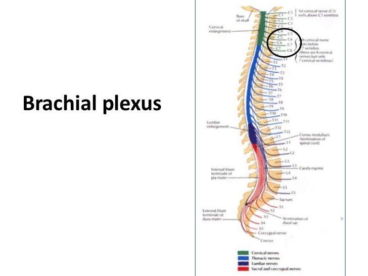 Brachial plexus anatomy made easy 6271181 - togelmaya.info