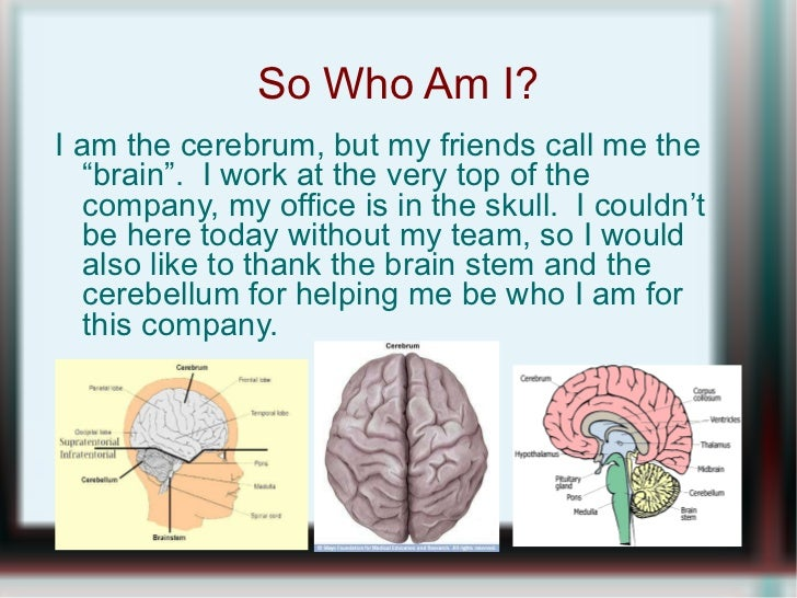 "So Who Am I? <ul><li>I am the cerebrum, but my friends call me the ""brain"".  I work at the very top of the company, my off..."