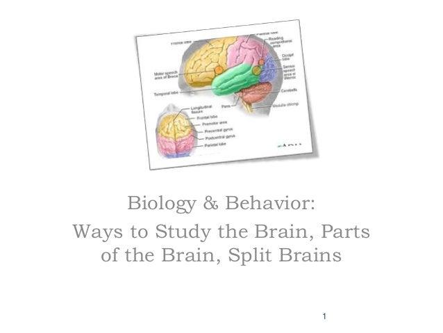 Biology & Behavior: Ways to Study the Brain, Parts of the Brain, Split Brains 1
