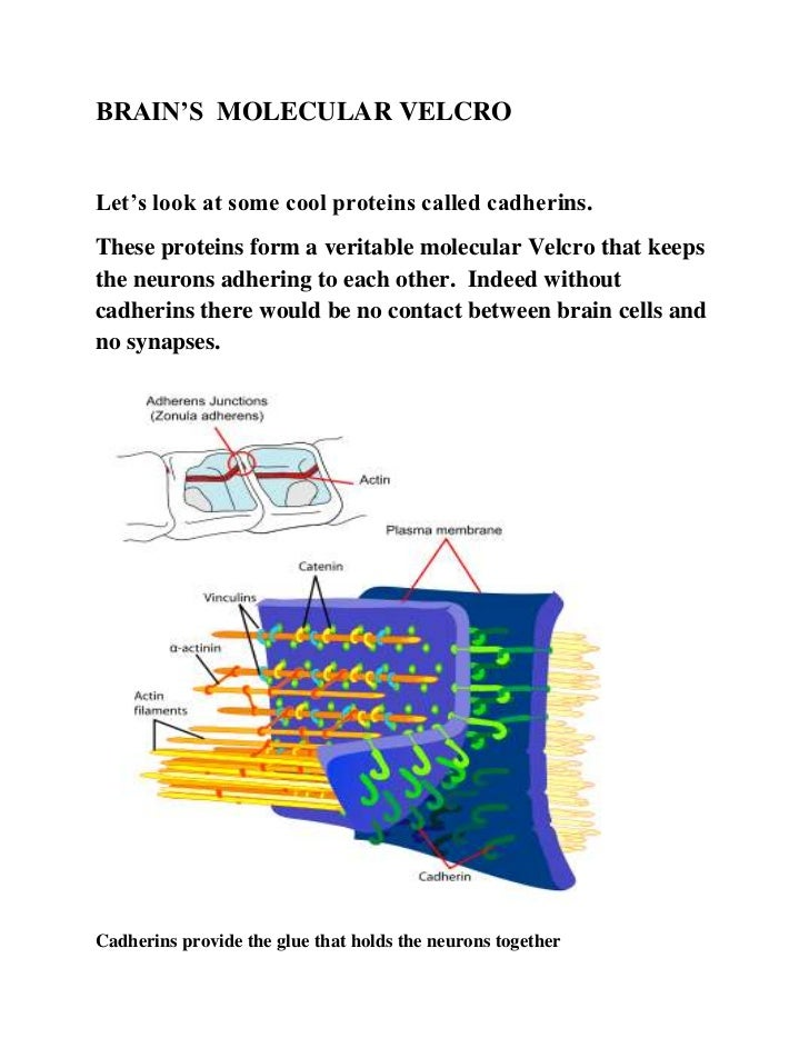 BRAIN'S MOLECULAR VELCROLet's look at some cool proteins called cadherins.These proteins form a veritable molecular Velcro...