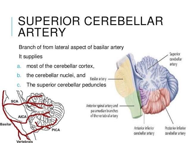 Vascular anatomy brain